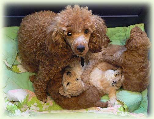 de medici poodles aurora s miniature poodle puppies spring 2009