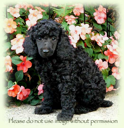 Ellie And Lennys Moyen Small Standard Poodle Litter Born