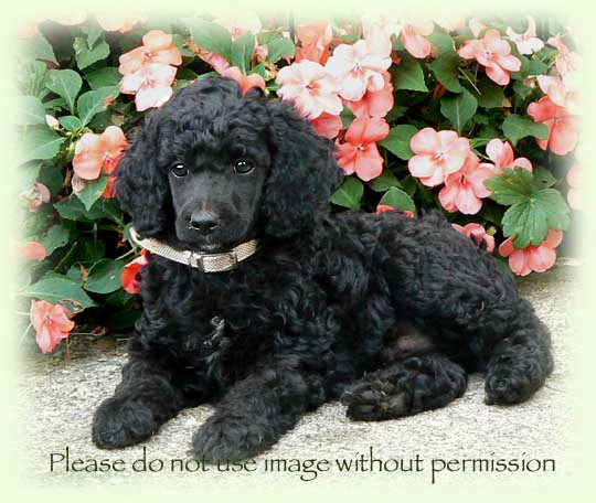 Black standard poodle puppies ontario