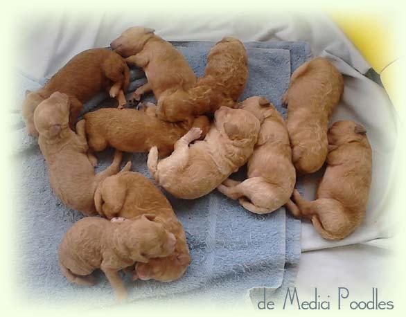 Newborn Poodle Puppies Newborn apricot moyen poodleNewborn Teacup Poodle