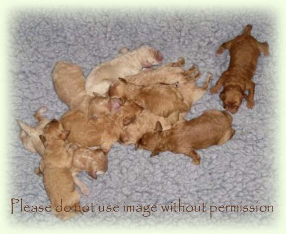 Newborn Poodle Puppies Newborn litter of moyen poodleNewborn Teacup Poodle