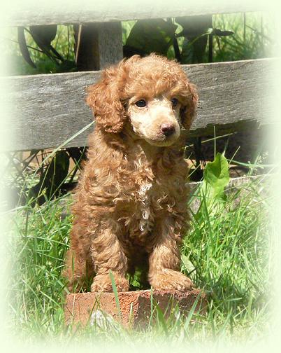 Purebred Poodle Puppies Goldenacresdogscom