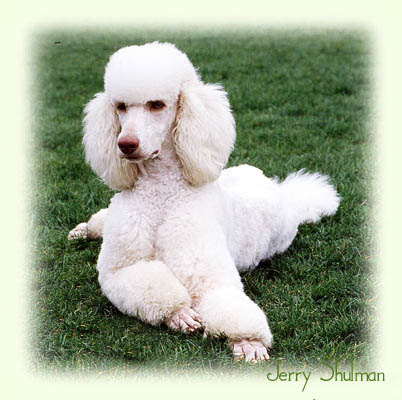 Poodle Puppies For Sale British Columbia Miniature Poodle Puppy